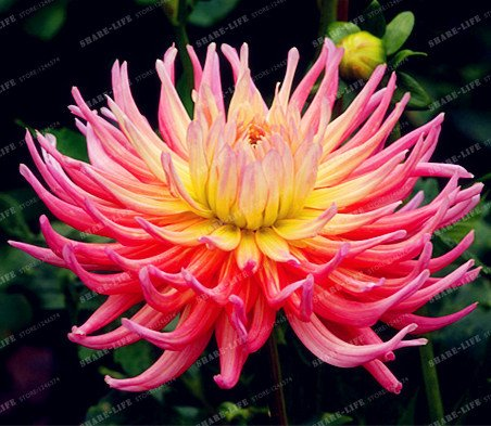 50 Pcs/Sac 100% Vrai Dahlia Fleur Graine jardin Bonsai Mini Dahlia Seed Flower Easy Grow bricolage maison usine 4