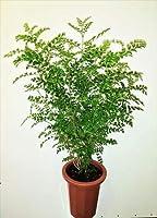 シマトネリコ7号(庭木の種類)