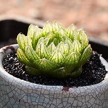 Live Fat Succulent Plant Mini Succulents (Haworthia cooperi VAR. picturata)