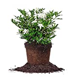 Live 1 gallon frost proof gardenia comes with easy to use plant food and features deep green, spindle leaves with fragrant, White flowers appearing every spring-summer This gardenia shrub features a pleasant aroma during blooming season — refreshing ...