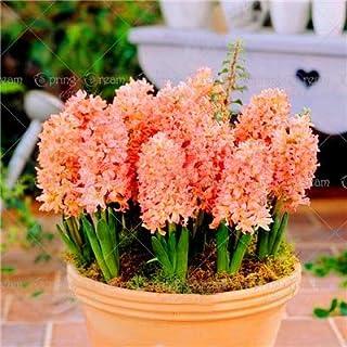 Las nuevas 100 PC/bolsa de jacinto de flores en maceta de Bonsai (bulbo no jacinto) Holanda hidropónico flor al aire libre Bonsai s para Orange Home Garden Light (sólo semillas)