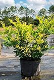 SmartMe Flower Plant - Howardi Japanese Privet, Wax Leaf Ligustrum Japonicum (Florida Only) Size: 7 Gallon (Fl delivery). c30