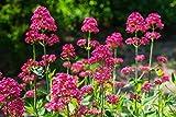 Centranthus Ruber (Valeriana Rossa) 40 Semi- Barba di Giove -Longest Blooming per