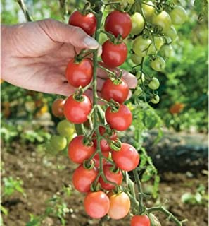 10 Sun Peach Tomato Vegetable Seeds
