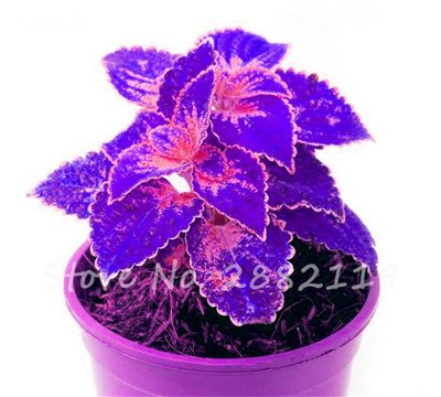 Bonsai coleus Graines Variées Plantes à feuillage couleur parfaite Arc- belle fleur plante Illuminez votre jardin personnel 120 Pcs 9