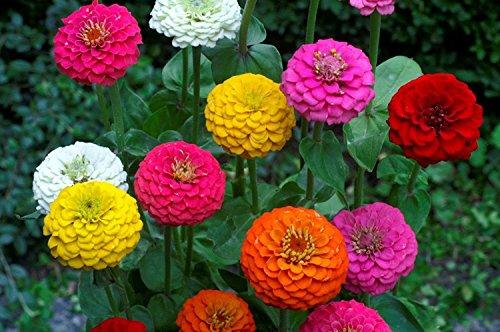 Semillas Zinnia Elegans Lilliput Mix, no GMO, variedad de tamaños, (200 semillas)