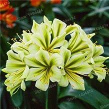 Clivia Seeds As Flores Kefir Flower Seeds En Decorative Garden Flowersseedsfor Home Garden 50Pcs,Easy : 6