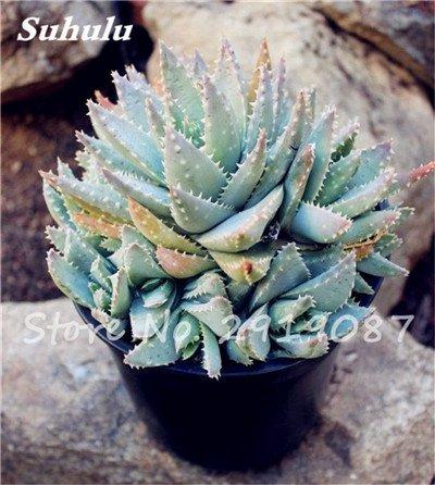 Nouveau! 20 Pcs coloré Cactus Rebutia Variété Mix Exotique Aloe Graine Cacti Bureau Rare Cactus comestible Beauté Succulent Bonsai plante 17