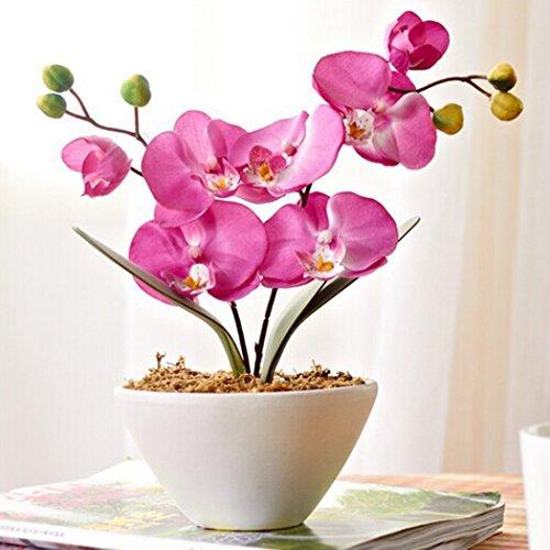 Ncient 20Pcs/ Sac Graines Semences de Phalaenopsis Graines Fleurs Graines à Planter Plante Rare de Jardin Balcon Parfumé Belle Floraison Bonsaï en Plein Air pour l'Intérieur et l'Extérieur