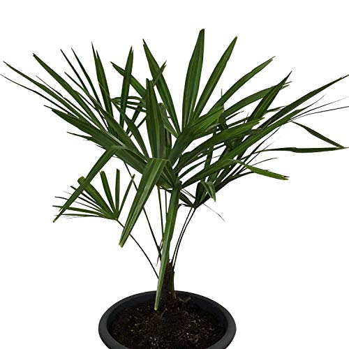 100 Samen Hanfpalme -Trachycarpus fortunei- **Bis -20 Crad Frosthart***