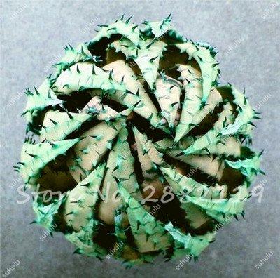 Rare Serpent Aloe Vera Seed 30 Pcs forme rare Aloe Vera plante à base de plantes succulentes semences Bonsai de haute qualité pour l'usine Balcon & Jardin 2