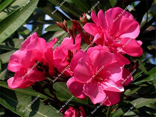 Nerium Oleander Graine Rare Bonsai Plante en pot Four Seasons Belle Fleurs vivaces bricolage jardin Plantes Décoration 100 PCS 3