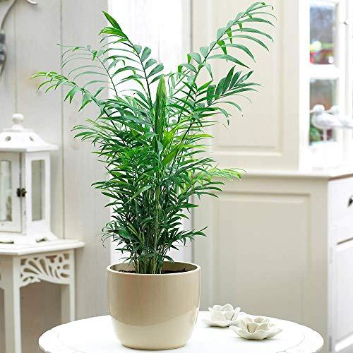 Chamaedorea Elegans Palm - Premium Tall Indoor House Plant Décor Potted...