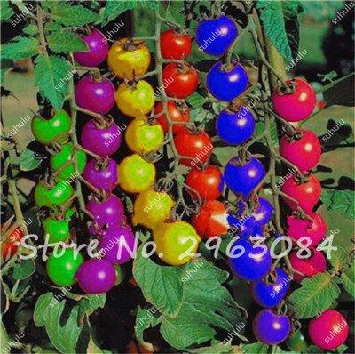 100 Pcs Rare Graines de tomate arc-en-ornement Pot graines de variétés anciennes de légumes bio alimentaires herbe pour les graines bonsaï plantes jardin 8