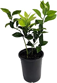 meyer lemon trees for sale in florida