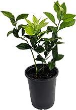 "Meyer Lemon Tree + Certificate -Fruiting Size- 6"" Pot- No Ship TX,FL,AZ,CA,LA,HI"