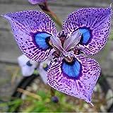 Soteer Garten - 50 Stück Orchid Samen Bumensamen selten Epipactis gigantea gekörnter Blumengarten winterhart (Lila)