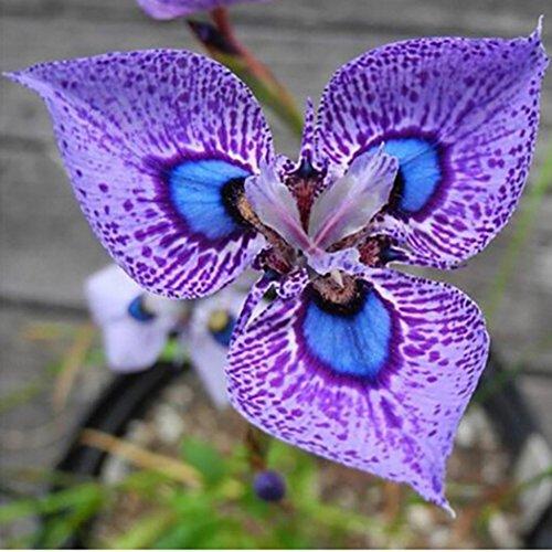 Tomasa Gartensamen- 50 stücke Phalaenopsis Orchideen Samen Schmetterling Orchidee Blumensamen winterhart mehrjährig bunte bonsai exotische samen Orchidee Blumensamen