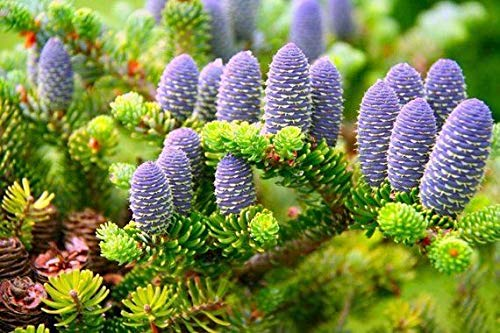 SONIRY WBML 60 +++ n Tannensamen, Abies NA Blume, seltene lila Baumsamen Saatgut