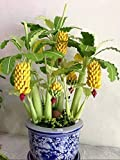 Seeds Ornamental Banana Tree Indoor Flowers for Planting Ukraine