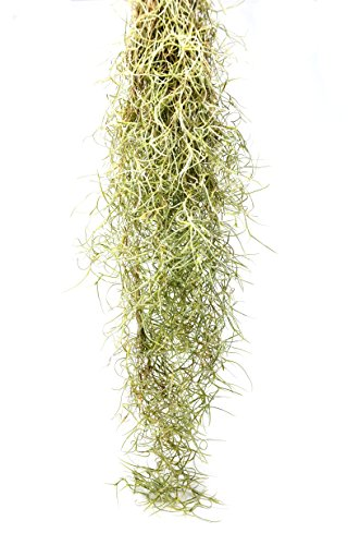 HOUSE PLANT SHOP | Spanish Moss | Live Air Plant | Free Care Guide