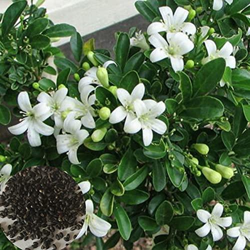 Semillas para plantar, 1 bolsa de semillas de Murraya Exotica Productivas No OGM Natural de Alto Rendimiento para Jardinería para Balcón - Semilla