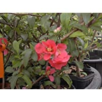 Chaenomeles Japonica Red Flowering Quince Old Timey Tree Plant Shrub Cannot Ship to CA, AZ, AK, HI, OR or WA PER State Laws