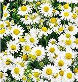 semi di camomilla - verdure - matricaria chamomilla - 100 sementi approssimativamente - i migliori semi di piante - fiori - frutti rare - camomille - idea regalo originale - ottima qualita