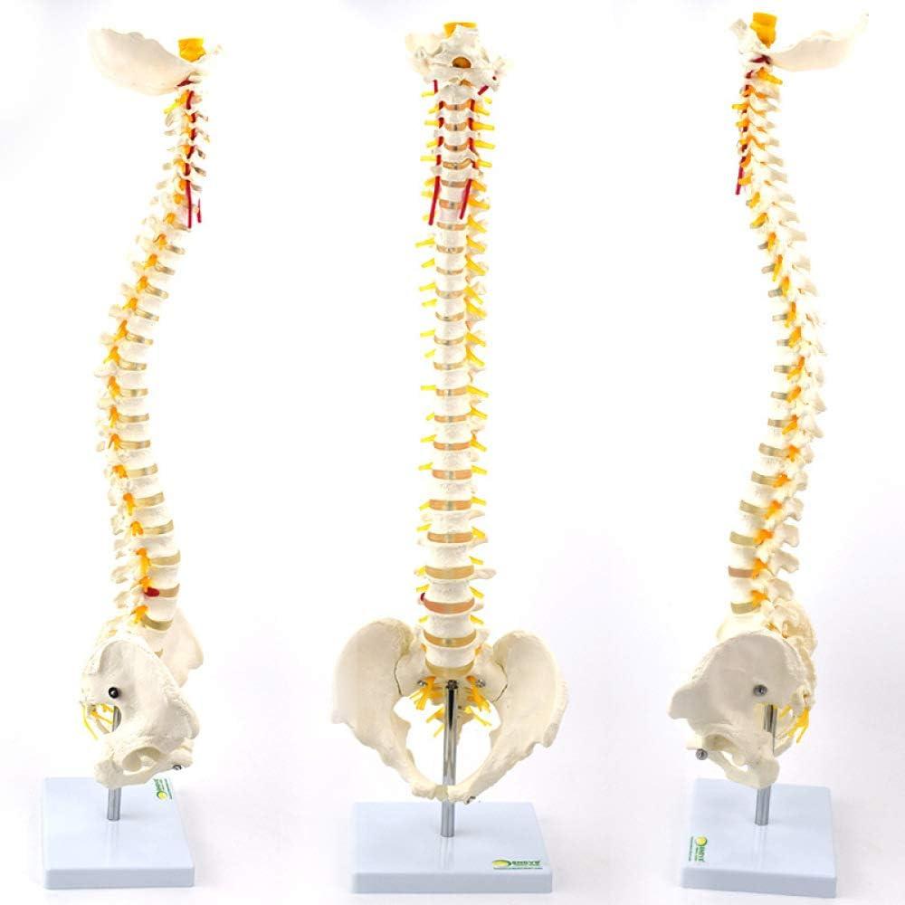 Curved Human Spine Over item handling Model Exercise Rehabilita [Alternative dealer] Bone Manipulation
