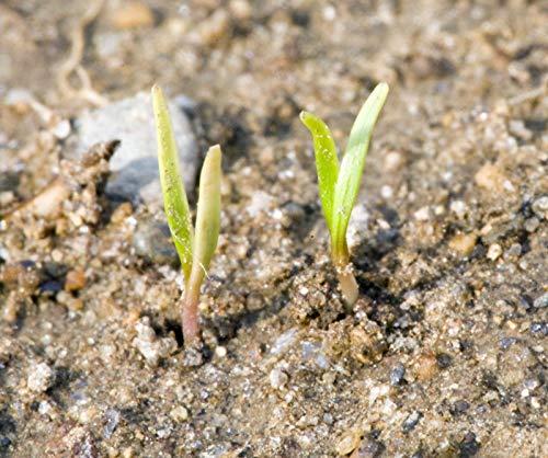 Portal Cool 800 Las semillas de la zanahoria Nt Berlicum Huerto ...