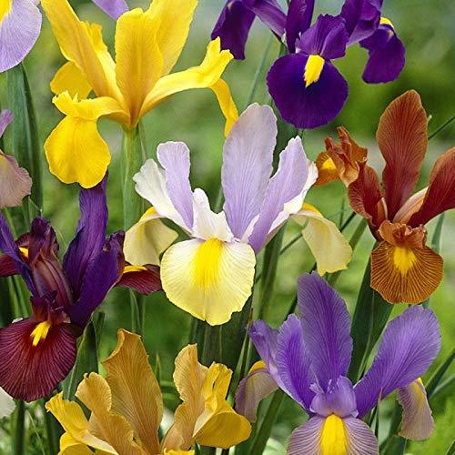Bulbi da Fiore ALTA QUALITA' per fioritura PRIMAVERILE - ESTIVA - AUTUNNALE (15, Iris HOLLANDICA STANDARD MIX)