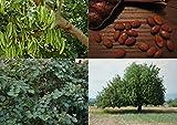 Algarrobo (Ceratonia siliqua) - 30 semillas frescas Chocolate Tree - Bonsai ideales