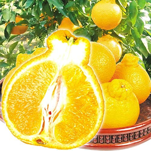 国華園 食品 愛媛産 ご家庭用 不知火オレンジ 5�s1箱 柑橘