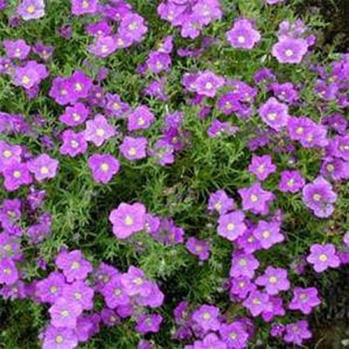 zumari 200 Stück Tasse Blume Lila Robe Bodendecker (Nierembergia Hippomanica) Blumensamen