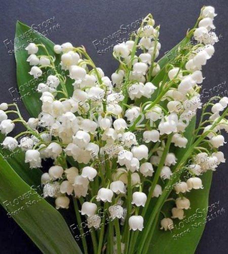 Campanula Samen Maiglöckchen Blumensamen, Bell Orchid Samen, Reiches Aroma, Schöne 100 Stücke B002
