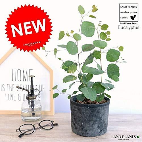 LAND PLANTS 観葉植物 ユーカリ (ポポラス) モスポット シリンダー 黒色 陶器鉢 ポリアンセモス