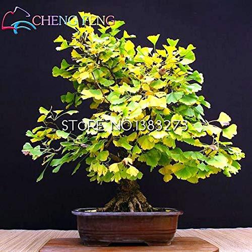 Green Seeds Co. 5pcs Rare Rainbow Ginkgo plants Belle Feuilles d'Automne Arbre En Pot Bonsaï Plante Vivace Fleurs plante: Clair