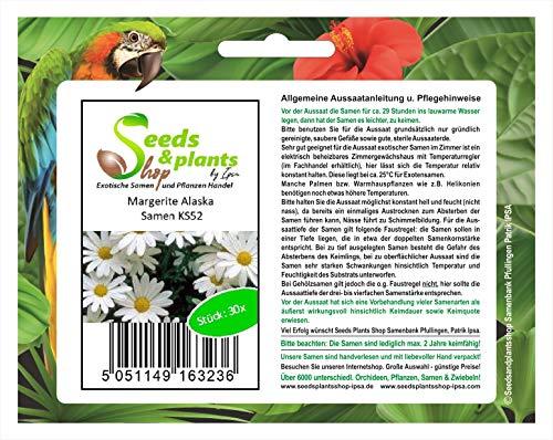 Stk - 30x Margerite Alaska - Schokoladenblume Samen Garten Blume Saatgut KS52 - Seeds Plants Shop Samenbank Pfullingen Patrik Ipsa
