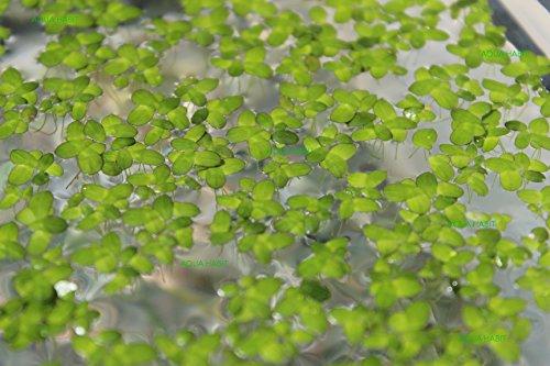 Duckweed (Lemna Minor) - 100/200/500 Live Plants (100) by Aqua Habit