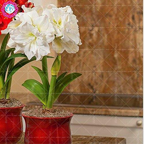100pcs / bag semillas verdaderas Amaryllis no las semillas de los bulbos de flores, semillas de Bonsai Hippeastrum para el hogar y jardín Semillas de marihuana Barbados flor del lirio 3
