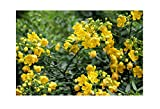 Cassia siamea Kassod Tropical Tree seeds Bright Yellow Blooms Popcorn Scented Leaves summer-fall Good Container Gardening or Standard (10)