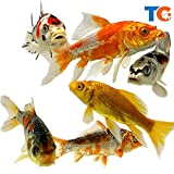 Toledo Goldfish Live Butterfly Fin and Regular Koi Combo for Ponds, Aquariums or Tanks  USA Born and Raised  Live Arrival Guarantee (3 to 4 inches, 4 Fish)