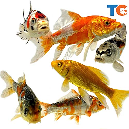 Toledo Goldfish Live Butterfly Fin and Regular Koi Combo for Ponds, Aquariums or Tanks – USA Born and Raised – Live Arrival Guarantee (3 to 4 inches, 4 Fish)