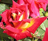 Glowing Amber - 5.5lt Potted Patio Garden Rose Bush - Repeat Flowering Red with Yellow Reverse Blooms, Short Compact Rounded Growth.