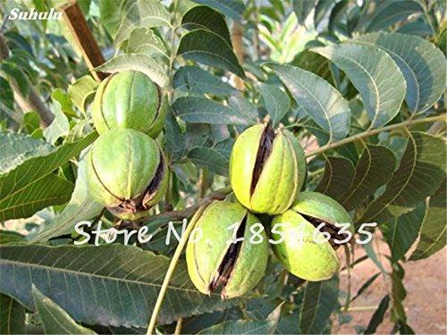 Haute Qualité Noyer Graine japonaise importation de noix et de fruits secs semences Diy jardin Le meilleur cadeau pour l'enfant 10 Pcs
