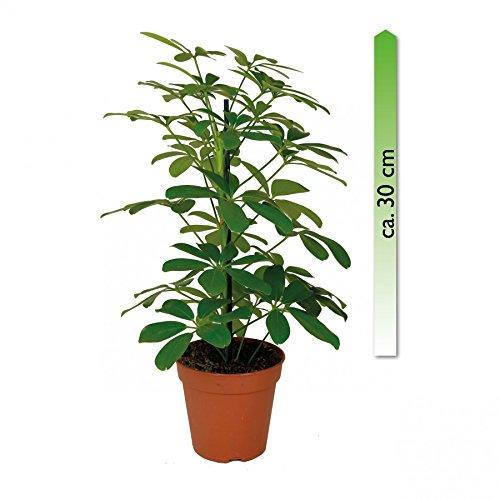 mgc24, Pflanzenservice Schefflera arboricola, Nora, im 12er Topf, Strahlenaralie