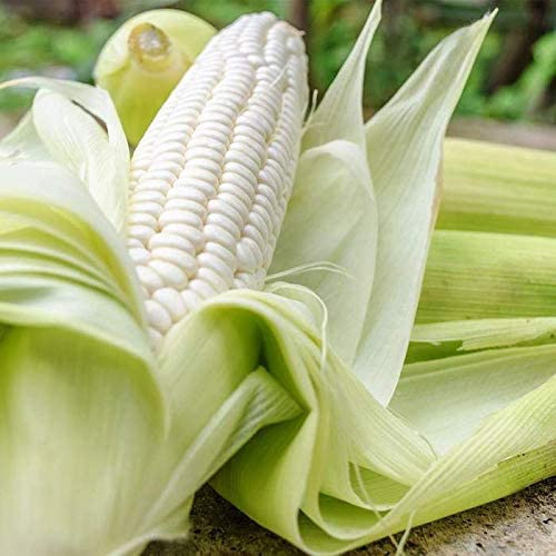 PAPCOOL Sweet Corn SẸẸDS Max 48% OFF Cor 55% OFF - for Plạnting