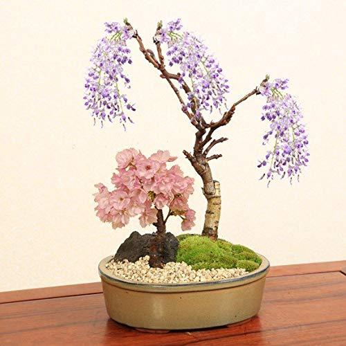 人気花物盆栽:桜・藤寄せ植え*陶器鉢【春に開花】の詳細を見る