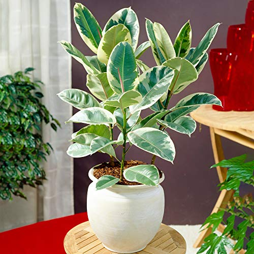 Ficus Tineke - Rubber Plant | Premium 30-40cm Potted Houseplant for Sale