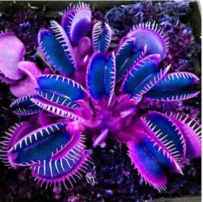 Gartensamen SummerRio- 50 Stück Fliegenfalle Pflanzen Saatgut Selten Venusfliegenfalle Samen Dionaea muscipula fleischfressende Pflanze winterhart mehrjährig für Garten Balkon